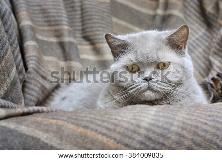Large gray British cat on a chair covered with a vintage blanket - stock photo