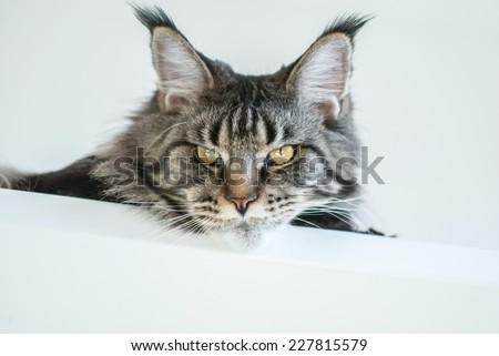 Large gray tabby cat with fluffy tassels on the ears.  The breed Maine Coon. - stock photo