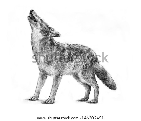 large gray timber wolf drawing illustration, howling gray wolf halloween image, proud strong concept powerful dangerous animal, wolf graphic art design, wolf isolated white background, nature wildlife - stock photo