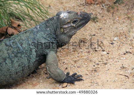 large green-blue lizard looking for food