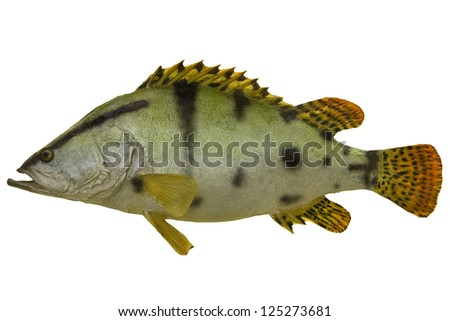 large green fish isolated on white background