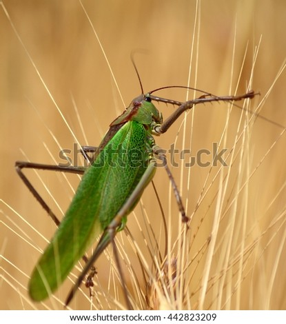 Large green grasshopper among the wheat spikes - stock photo