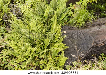 Large green leaves of ferns among plants