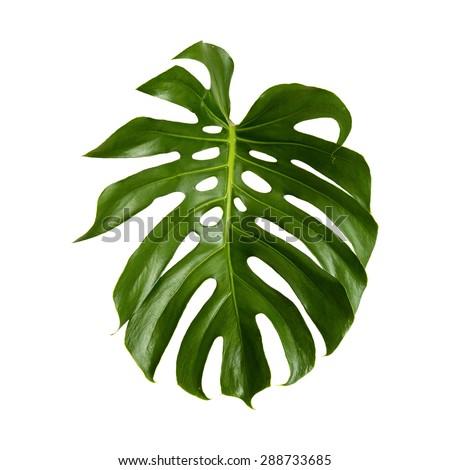 large green shiny leaf of monstera plant isolated on white background - stock photo