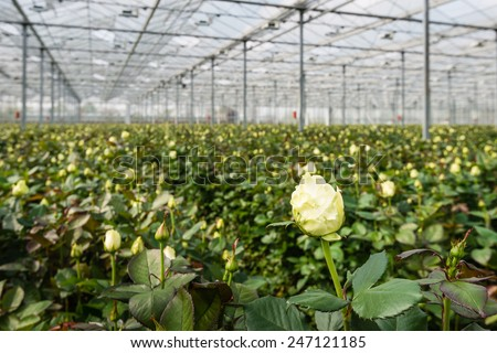 Large greenhouse farming company specializing in the cultivation of roses as cut flowers. - stock photo