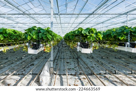 Large greenhouse horticulture company specialized for hydroponic cultivation of strawberries. - stock photo