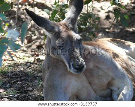 large grey kangaroo - stock photo