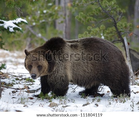 Large Grizzly Bear in snow, Dunraven Pass, Mount Washburn, Yellowstone National Park, Montana / Wyoming; bear feeding on Whitebark Pine nuts in October, just prior to hibernation