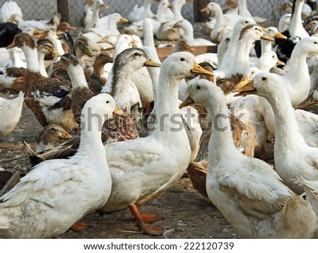 Large group of adult domestic ducks in the poultry yard  - stock photo
