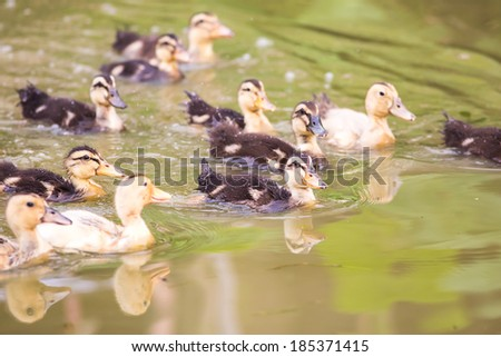 large group of baby duck swimming on water - stock photo