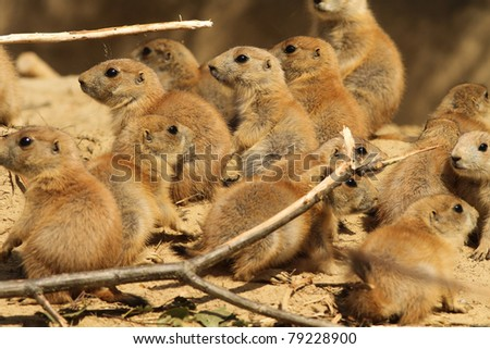 Large group of baby prairie dogs - stock photo