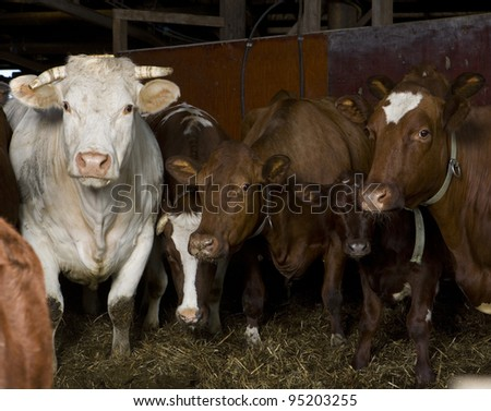 Large group of cows indoor - stock photo