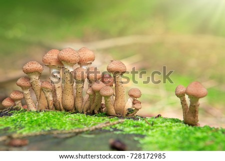 Large group of edible mushrooms from the Armillaria mellea growing on a wood stump in autumn forest.