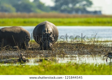 Large group of hippopotamuses in mud, Chobe National Park - stock photo