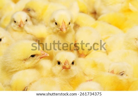 Large group of newly hatched chicks on a chicken farm. - stock photo