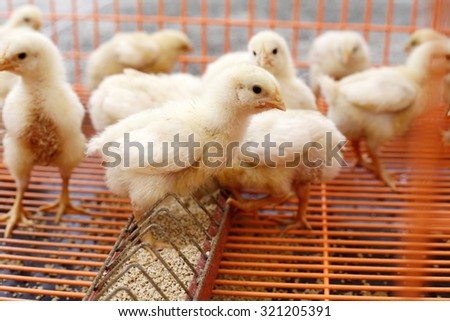 Large group of newly hatched chicks on a chicken farm