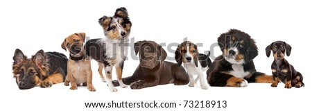 large group of puppies on a white background.from left to right,German Shepherd, mixed breed pug, shetland sheepdog,chocolate Labrador,Beagle,Bernese Mountain dog and a miniature Dachshund - stock photo