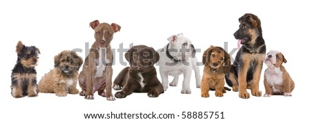 large group of puppies on a white background. left to right, Yorkshire terrier,mixed breed boomer, pitbull terrier,chocolate labrador,French bulldog, dachshund,German shepherd and an English bulldog - stock photo