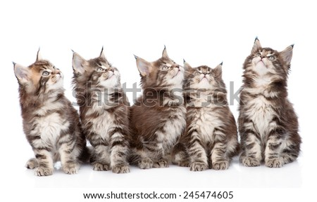 large group of small maine coon cats looking up. isolated on white background - stock photo