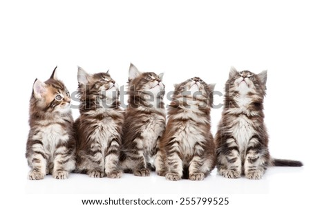 Large group of small maine coon cats looking up. isolated on white background