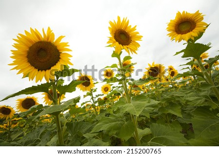 Large group of sunflowers in the field