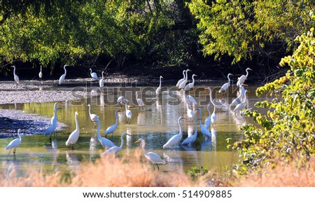 Large group of white herons wade in a shallow creek in the Delta area of Arkansas.