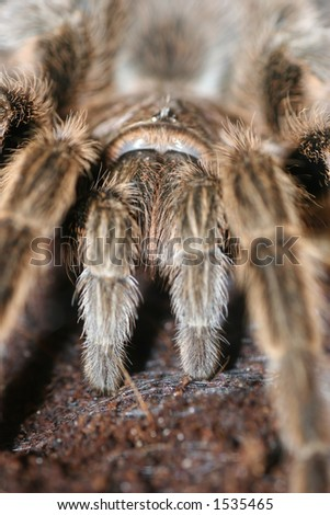 Large Hairy Spider - Macro