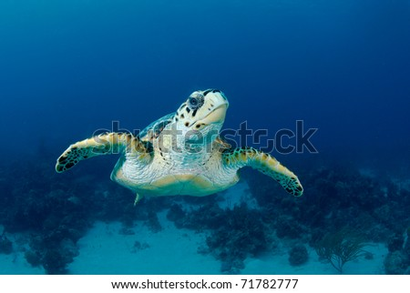 Large Hawksbill Turtle face on - stock photo