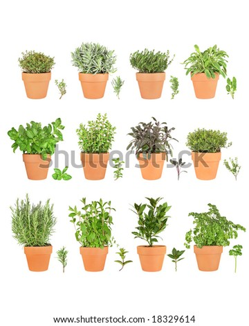 Large herb plant selection growing in terracotta pots with leaf sprigs. Over white background.