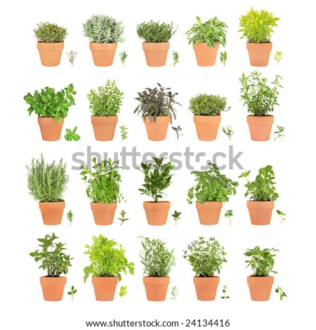 Large herb selection growing in terracotta pots with leaf sprigs over white background. - stock photo