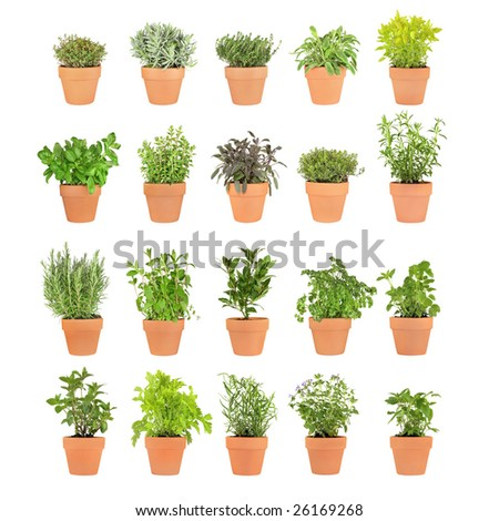 Large herb selection growing in twenty terracotta pots over white background. - stock photo