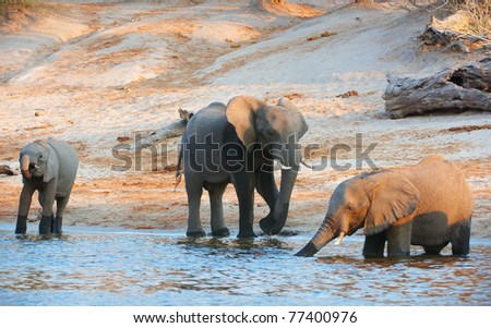Large herd of African elephants (Loxodonta Africana) drinking from the river in Botswana - stock photo