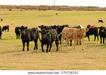 Large herd of angus cross beef steers feed on grass on a ranch in northeastern Texas - stock photo