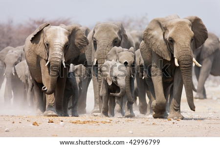 Large herd of elephants approaching over  the dusty plains of Etosha - stock photo