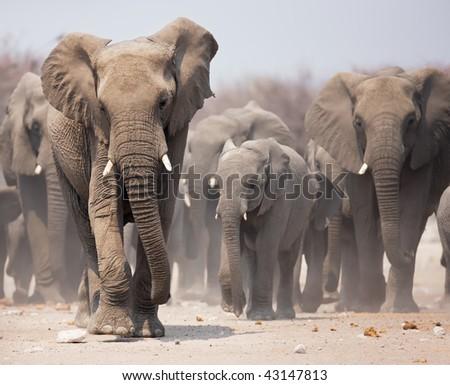 Large herd of elephants approaching over  the dusty plains of Etosha - stock photo