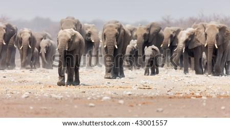 Large herd of elephants approaching over  the dusty plains of Etosha (focus on foremost elephant) - stock photo