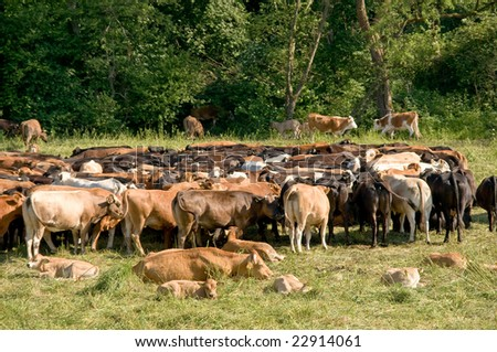 Large herd of red cows and calves on a green meadow in Bieszczady, Poland - stock photo