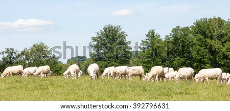 Large herd of white Charolais beef cattle grazing in a grassy  spring pasture with cows, a bull and young calves, panorama or banner view - stock photo