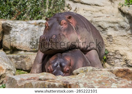 Large hippo (hippopotamus) resting on top of another hippo - stock photo
