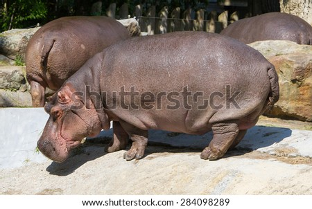 Large hippo (hippopotamus) standing in the sun - stock photo