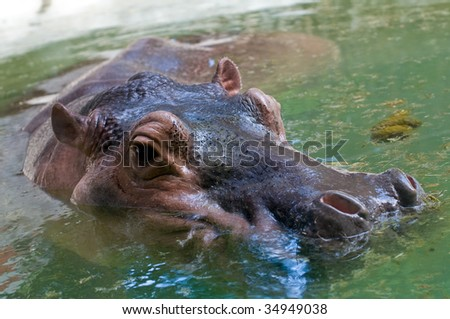 large hippo resting in the water on a sunny day