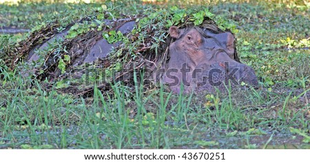 """Large hippopotamus hiding amongst the """"nile cabbage"""" growing on a waterhole in the Luangwa valley, Zambia - stock photo"""