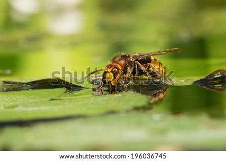 Large hornet wasp female drinking water - stock photo