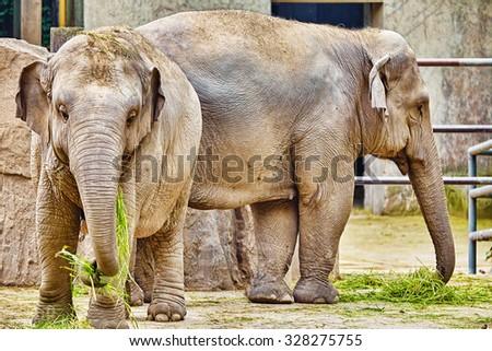 Large Indian elephants its natural habitat. - stock photo