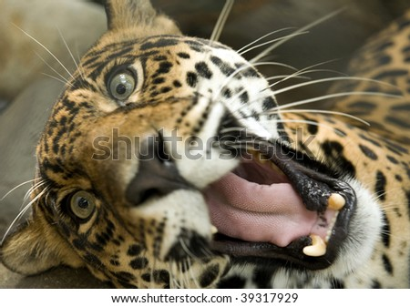 large jaguar or panthera onca with mouth open - stock photo