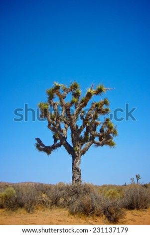 Large Joshua tree stands tall in the vast Mojave desert of southern California. - stock photo
