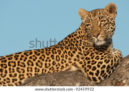 Large (20-90 kg) carnivorous cat; elegant and powerful built; long tail; widespread in savanna regions of Sub-Saharan Africa; often cache kill in trees.