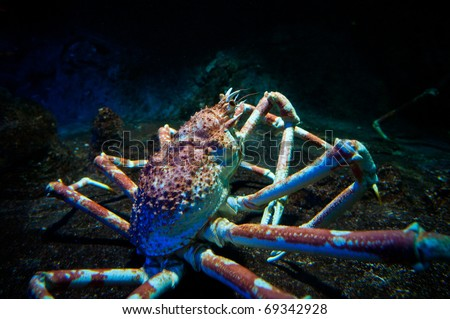 Large King Crab live in deep water (Paralithodes camtschaticus)