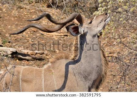 Large Kudu bull feeding - stock photo