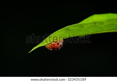Large ladybird beetles